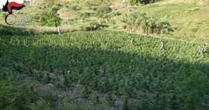 Una delle piantagioni di marijuana trovate nella Locride