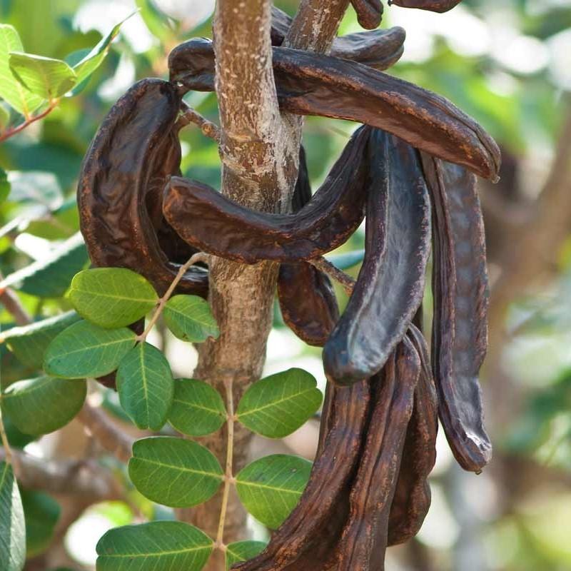 carrube sono i frutti dell'albero Ceratonia siliqua, comunemente chiamato carrubo.