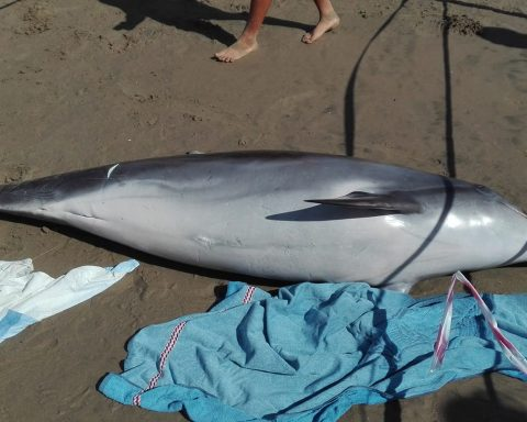 Delfino spiaggiato a Scauri