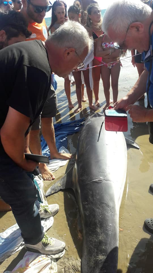 L'intervento dei volontari in soccorso del delfino spiaggiato a Scauri