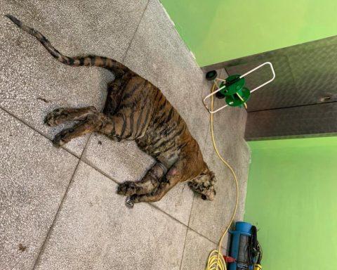 tigre morta