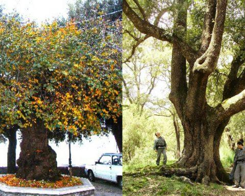alberi monumentali provincia di latina
