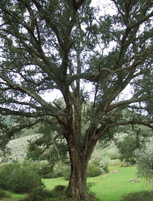 Nella sughereta di San vito a Monte San Biagio si trova un leccio-sughera centenario anche albero monumentale d'Italia