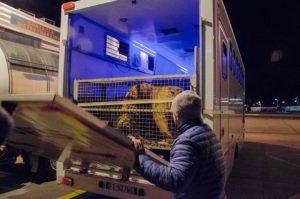 Il camioncino dove sono state caricate le tigri