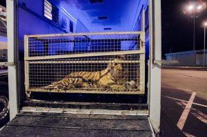 Una delle tigri ingabbiate e trasportate da Latina verso la Russia