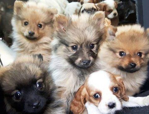 traffico cuccioli di cane di razza