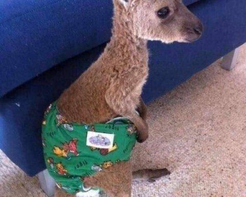 Il cucciolo di canguro ferito dalla cittadina di Cori emigrata in Australia
