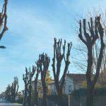 capitozzatura degli alberi