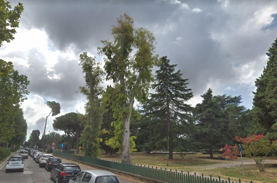 DUe eucalipti capitozzati qualche anno fa che non hanno più sviluppato rami principali. (Giardinetti - Parco Falcone Borsellino, Via Fabio Filzi a Latina)