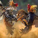 Galli da combattimento
