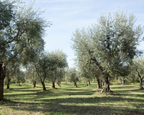Oliveto Molino 7cento