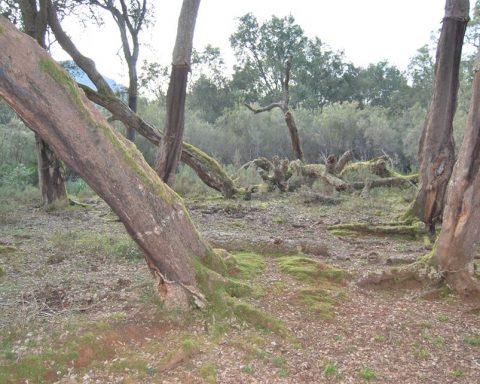 Sughere cadute dopo il disseccamento – Sughereta di San Vito a Monte San Biagio