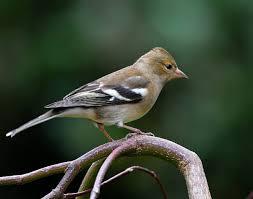 Esemplare del piccolo passeriforme