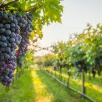 vino regione lazio settore vitivinicolo
