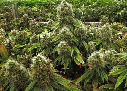 marijuana-
