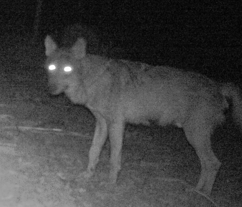 Avvistamento del lupo nel parco nazionale del circeo