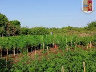 piantagione-marijuana_ardea