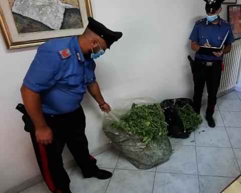 Alcune delle piante di marijuana rinvenute e sequestrate dai carabinieri