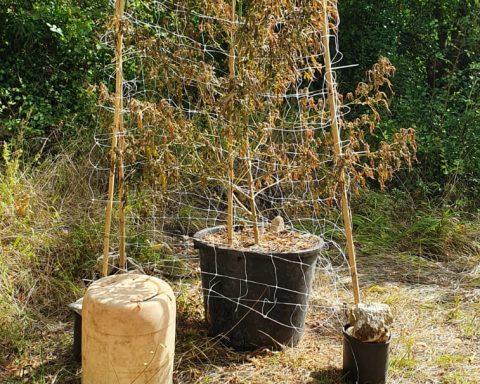 Foto dei controlli eseguiti dai Carabinieri di Formia e di alcune piante di marijuana rinvenute